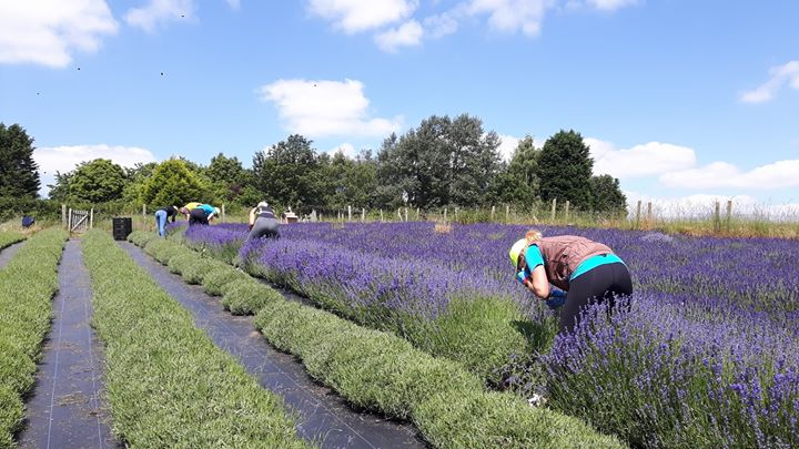 Your last chance to visit Shropshire Lavender fields.